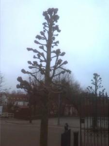 Fordel ved knudebeskæring er at man kan vælge et hurtigvoksende træ som Lind, der hurtigt når en størrelse der kan dække for indkig i haven, og samtidig kan sikrer at træet ikke bliver for stort.