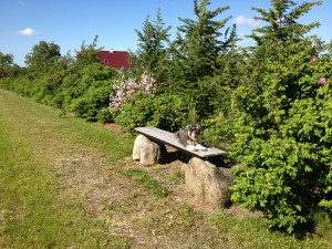 Levende hegn bestående af hybenroser og lærketrær.