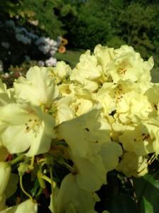 Rhododendron i gul, som én af mange muligheder.