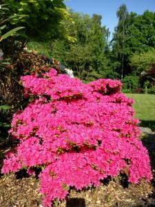 Rhododendron i fuld flor, hele planten er dækket.