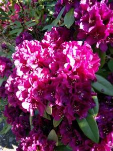 Rhododendron med smuk glød.